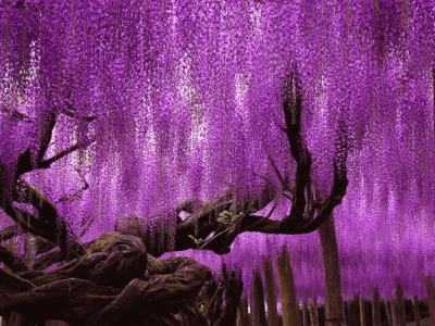 NOB_Wisteria_Plant The Not Old Better Show